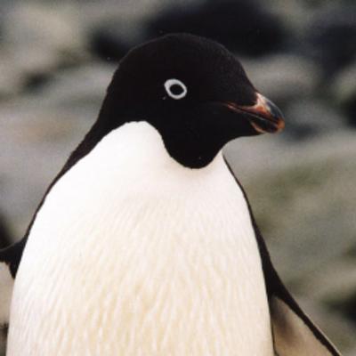 アデリーペンギンの画像 p1_24