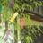 tanabatana