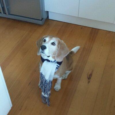 Tash the Beagle | Social Profile