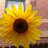 nice_sunflower