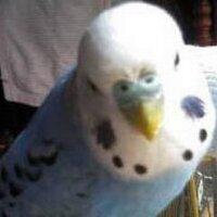 ぱくん:(鳥)@弱虫インコ | Social Profile