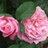RoseFeaster profile