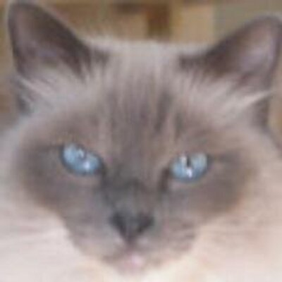 Perry The Birman | Social Profile