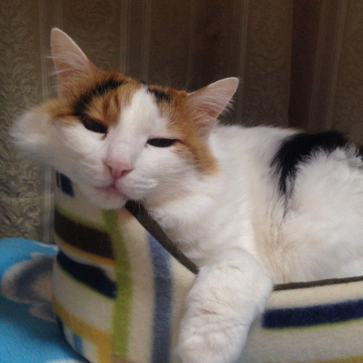 三毛猫の画像 p1_40