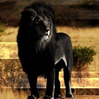 夕陽のライオン | Social Profile