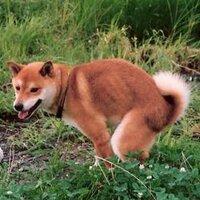 小柴犬   Social Profile