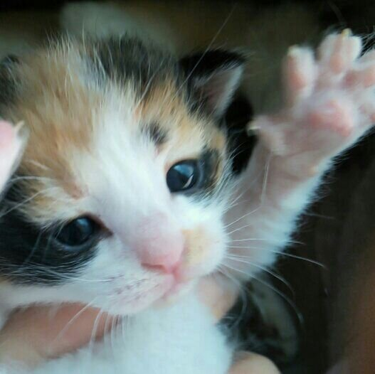 三毛猫の画像 p1_25