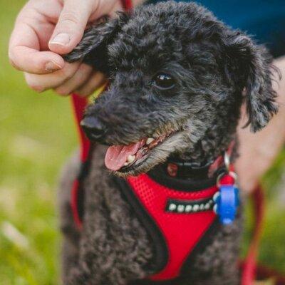 Dash the Poodle   Social Profile