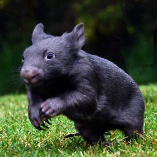 Dark Wombat