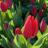 tulipharu