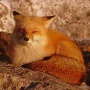 Wλat the fox say? | Social Profile