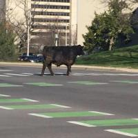 Cow | Social Profile