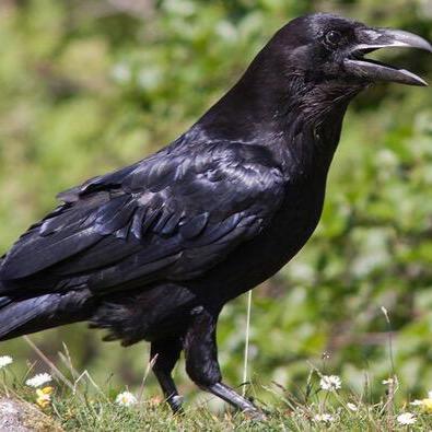 Corvus Coronoides | Social Profile