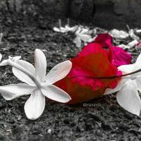 dareen_alhabib