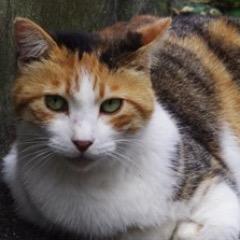 三毛猫の画像 p1_2