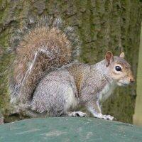 common_squirrel
