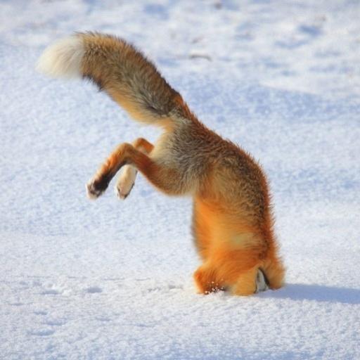 Liška podšitá