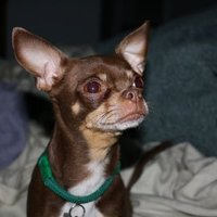 Angry Chihuahuas | Social Profile
