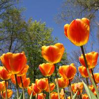 Travel_Tulips