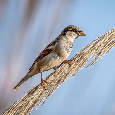 Rebounding Sparrows