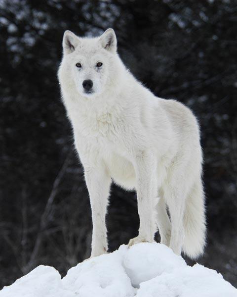 White Wolf Social Profile