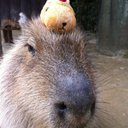 kapibara41