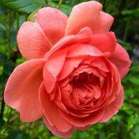 @john_clare_rose