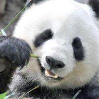 Panda_Reactions