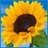@PlantSunflowers