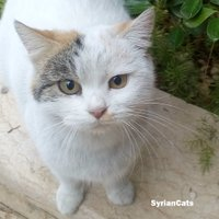 SyrianCats