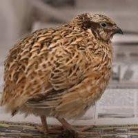 鶏 | Social Profile