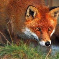 hourlyFox