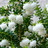 flowererica