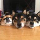 柴犬3兄弟ひなあおそら