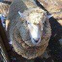 sheep_for_sleep