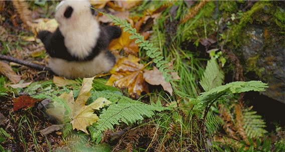 Get your paws dirty and explore in @Disneynature's #BornInChina, now in theatres. 🐾