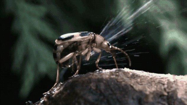 Karnındaki kimyasalları tehlike anında suyun kaynama noktasına kadar yükseltip savunma amacıyla kullanan bombardıman böceği. https://t.co/gS7A5V5SD1