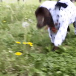 Goat follows its heart and dresses up like a Dalmation http://t.co/LKrQ0VDN25 http://t.co/qXwYFNcdq6