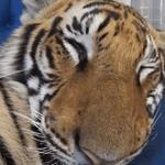 Os presento a Enzo el tigre dormilon🐯 http://t.co/OM0YQHc9VD