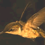 For a hummingbird, a leap-second means 80 extra wing flaps. http://t.co/JgTLqFk5Op http://t.co/wDZxjKUg0d