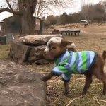 어미에게 버러졌던 아기 염소의 첫 외출이 귀여움의 한계를 부수다(동영상) https://t.co/gLoGrQUUKz https://t.co/9dydgyKZWn