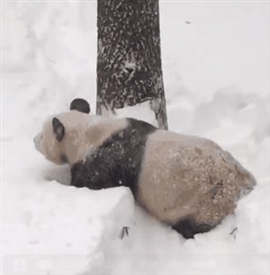 En este Día Mundial de la Vida Silvestre celebramos a los panda https://t.co/pqNcsiJkpL https://t.co/JaXETMmqrP