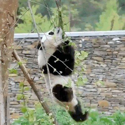 Las imágenes de pandas son adorables y divertidas, pero hay mucho más que debes saber https://t.co/pqNcsiJkpL https://t.co/lv0cCSUOTT