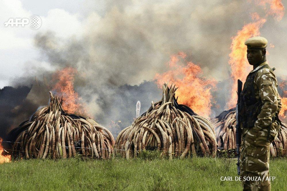 RT @afpfr Le Kenya détruit la plus grande quantité d'ivoire de l'histoire https://t.co/XWoNq8Hi3Q par @nicodelaunay #AFP https://t.co/0yg2X82jVK