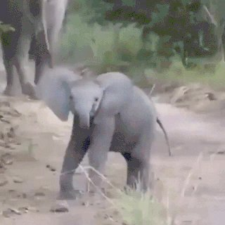 It's Friday AND #WorldElephantDay so here's a cute little elephant