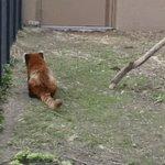 Срочно посмотрите, как пританцовывает красная панда. Пятница ведь https://t.co/HOxyoOO7wu