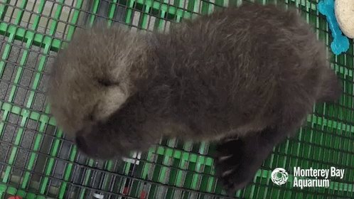 Emergency Cute Stuff @EmergencyPuppy: RT @EmergenSeaOtter: Here is a baby sea otter rubbing its face. #PostVotingStressRelief #electionday https://t.co/FakWYie6xY