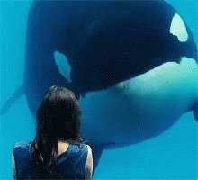 ALL captive male orcas at @SeaWorld have collapsed dorsal fins. A condition never seen in the wild! #stopseaworld
