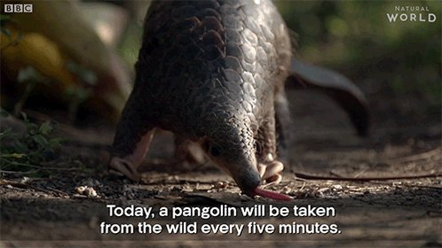 RT @BBCEarth: One pangolin is taken from the wild every five minutes   #Pangolins https://t.co/Oaw3TsadKC