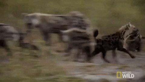Cuidado con el tren #hienasalacecho